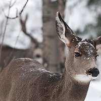 muledeer doe buck woods aspen cottenwood forest deep snow