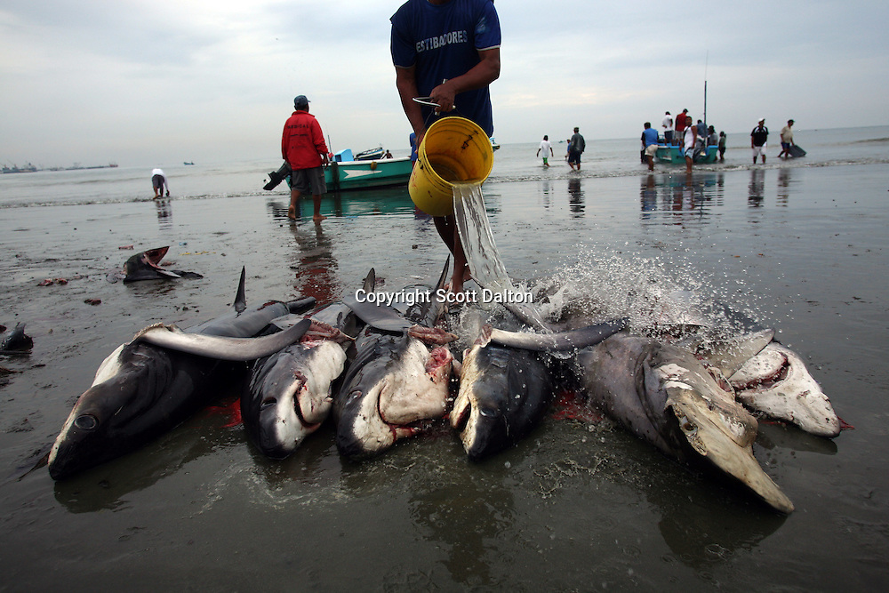 A fisherman washes off his catch of sharks on the beach in Manta, Ecuador on April 15, 2008. (Photo/Scott Dalton).