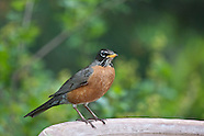 Robins, Mountain Blue Birds,