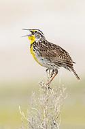 Western Meadowlark - Sturnella neglecta - Adult breeding