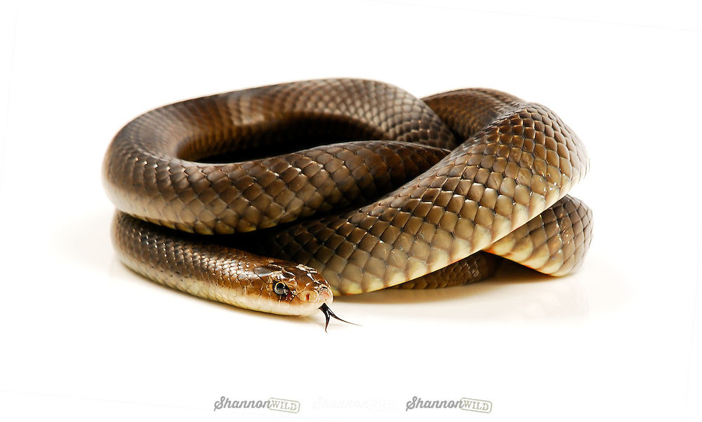 Eastern Brown Snake (Pseudonaja textilis), in a threat display.  It is an elapid snake native to Australia. It is one of the world's deadliest snakes. Female from Rockhampton.