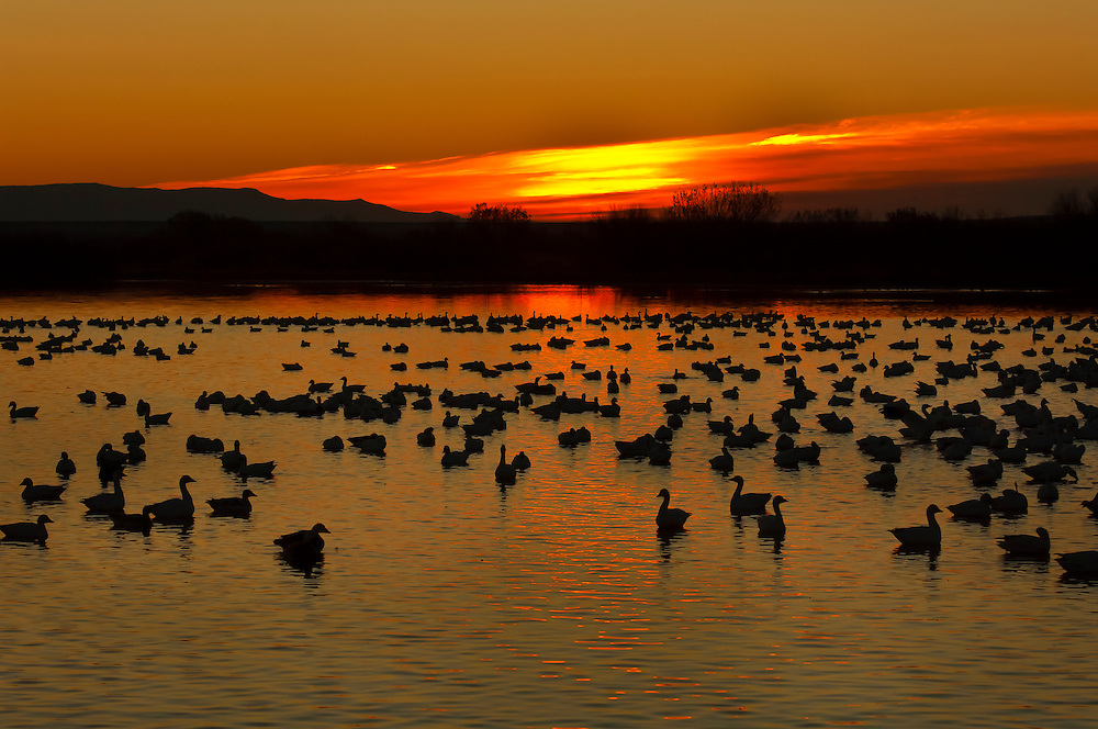 Snow geese and ducks at sunrise, Bosque del Apache National Wildlife Refuge, near Socorro, New Mexico USA
