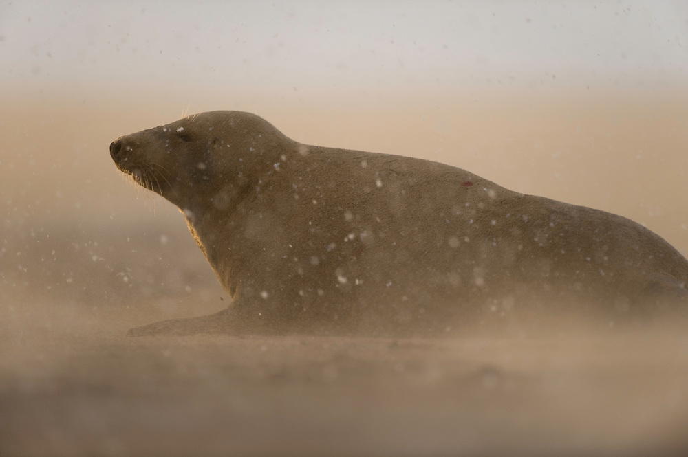 Grey seal (Halichoerus grypus) at Donna Nook, Lincolnshire, United Kingdom. Mission Wild Wonders of Europe, November 2008.