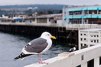 United States, California, Santa Cruz. The Santa Cruz Wharf. A Western Gull.