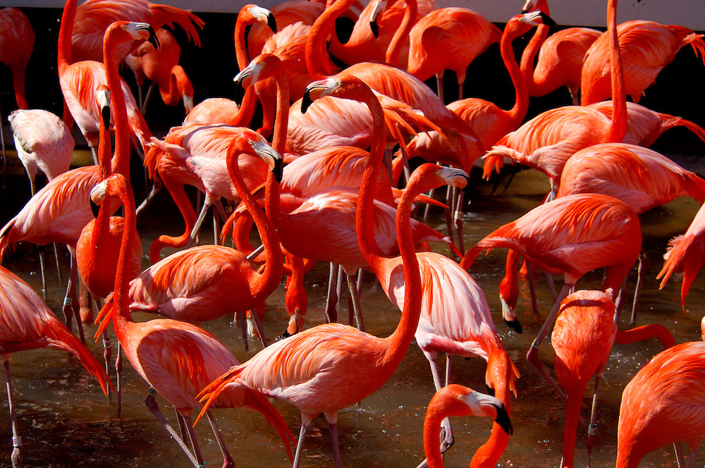 Flamingo (Phoenicopterus ruber), Sea World, San Diego, California, United States of America