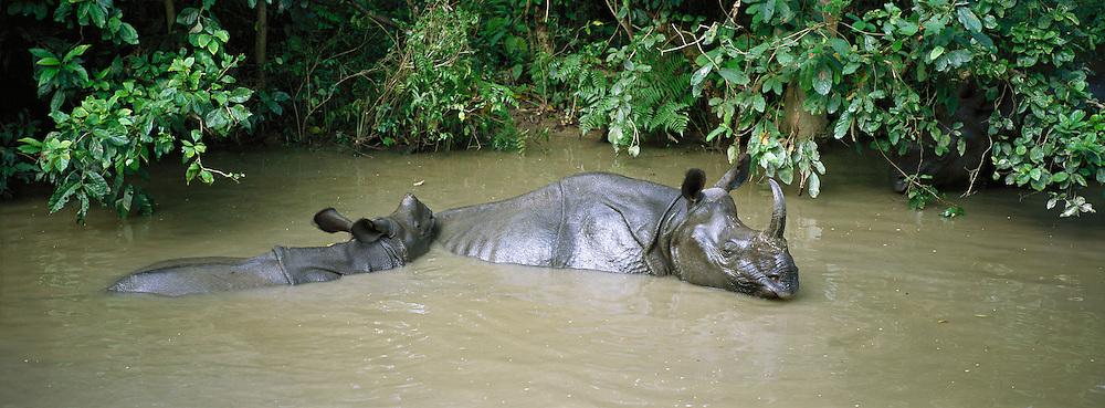 Rhinoceros, Chitwan National Park, Teraï, Nepal