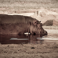 Wading hippo in Ruaha National Park, Tanzania
