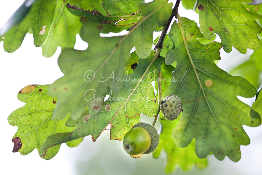Quercus robur (English oak) foliage and acorn