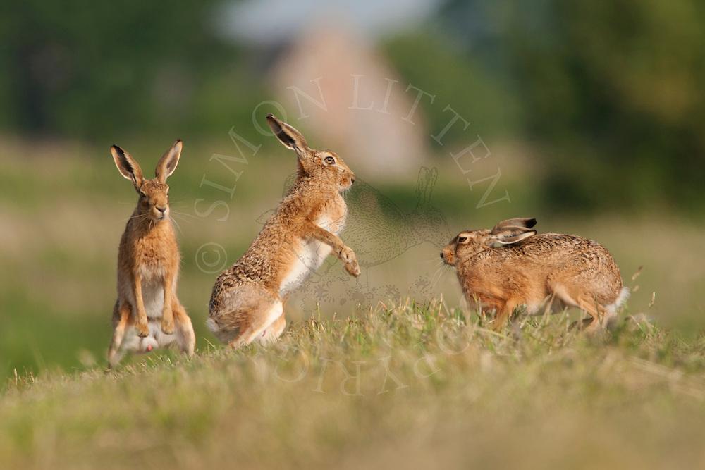 European Hare (Lepus europaeus) adults, boxing on farmland, Norfolk, UK.