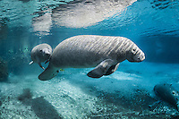 Florida manatee, Trichechus manatus latirostris, a subspecies of the West Indian manatee, endangered. A mother and calf float above a warm freshwater springhead. The strong sun rays are also warming. The calf is reassured while touching mom. Fish, bream, Lepomis spp. are present as are two other resting manatees and submerged tree roots. Horizontal orientation with blue water and sun rays. Three Sisters Springs, Crystal River National Wildlife Refuge, Kings Bay, Crystal River, Citrus County, Florida USA.