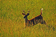 White-tailed buck in velvet running through a meadow in summer. Yaak Valley, northwest Montana.