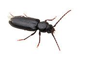Long-horned Beetle (Asemum nitidum)<br /> CALIFORNIA: Kern Co.<br /> Rivernook Campground; Kernville<br /> 8-13.June.2012 <br /> J.C. Abbott #2599 &amp; K.K. Abbott