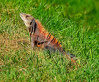 We went specifically to see these exotic invasive lizards on the island of Boca Grande, Florida after hearing about how they are taking over the whole island. We saw about 100 in an afternoon.