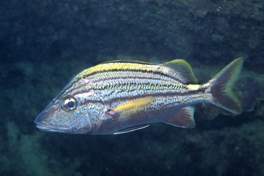 Spanish Grunt inhabit reefs in Tropical West Atlantic; picture taken Key Largo, FL.