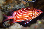 Squirrelfish-Poisson (Sargocentron rubrum)