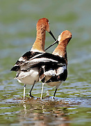 An American Avocet (Recurvirostra americana) couple share an embrace after mating.