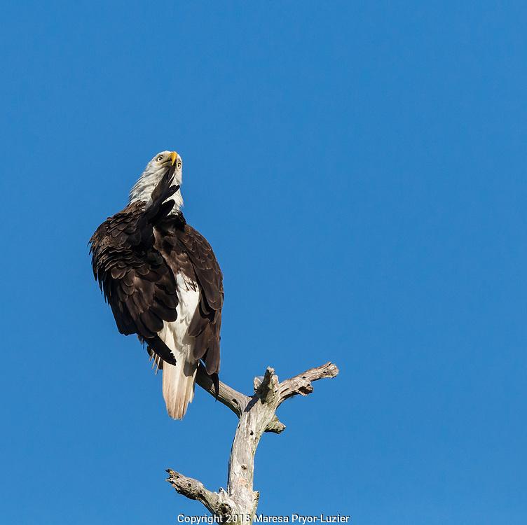Adult female Bald eagle preening, Haliaeetus leucocephalus,  SW Florida