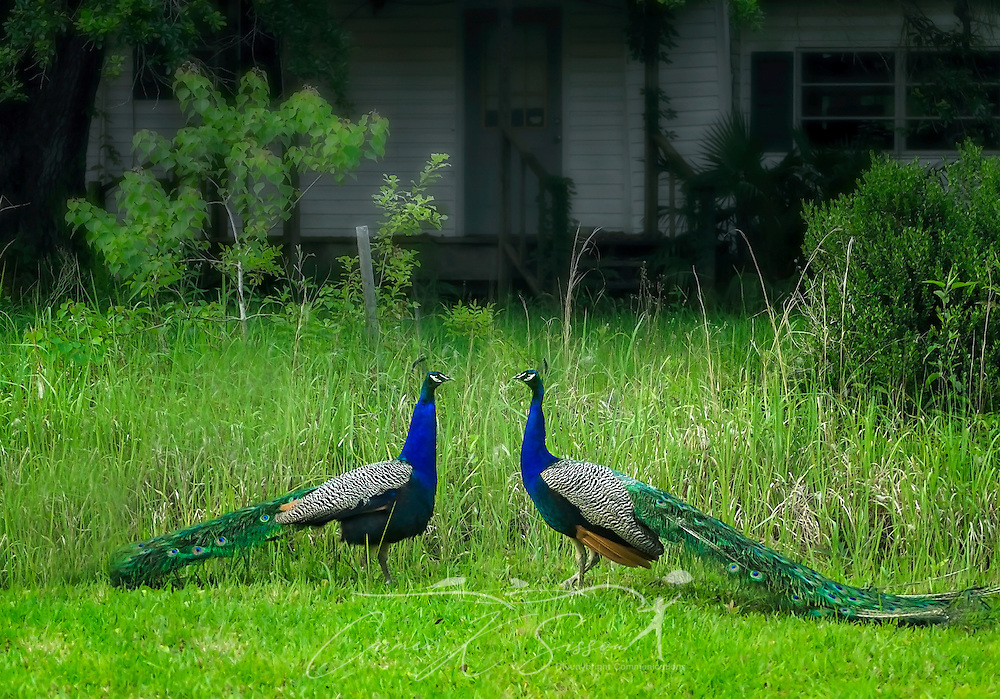 Two Indian peacocks stand in a backyard, March 26, 2016, in Coden, Alabama. Females are known as peahen, and their young are often called peachicks. (Photo by Carmen K. Sisson/Cloudybright)