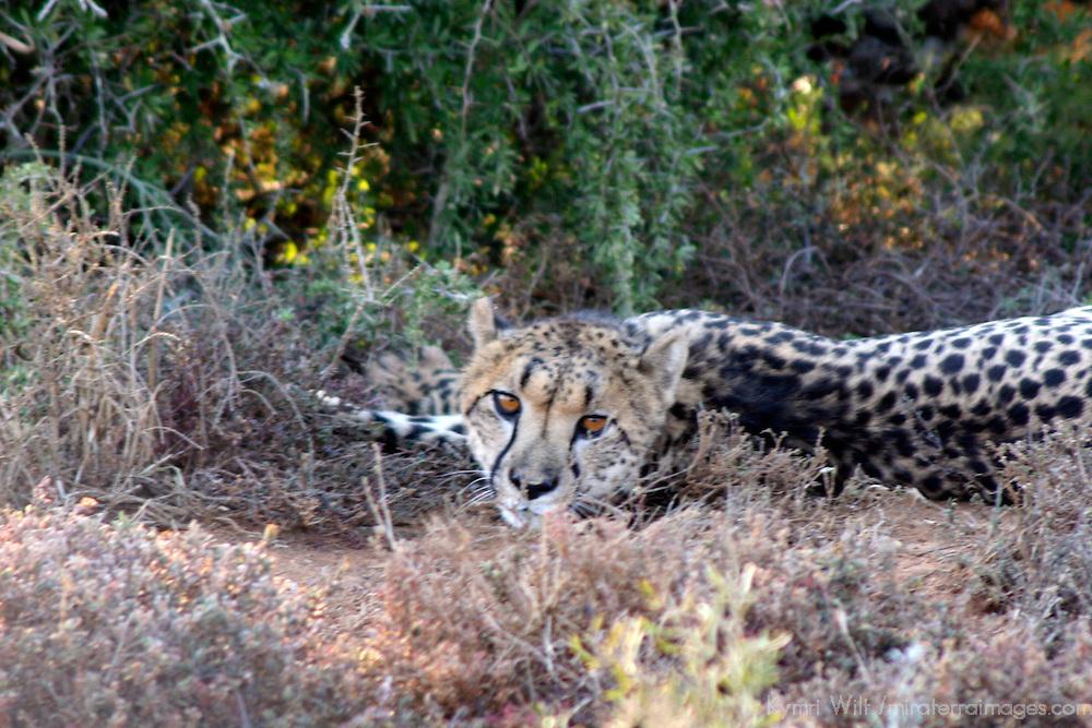 Africa, South Africa, Kwandwe. Sleepy Cheetah