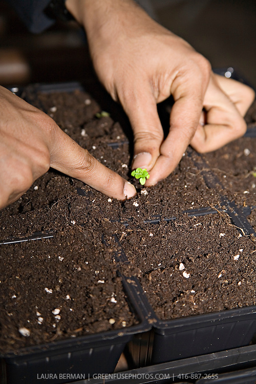 """Pricking out"" or delicately  transplanting a seedling from its original seeding tray into the cell pack in which it will continue to grow."