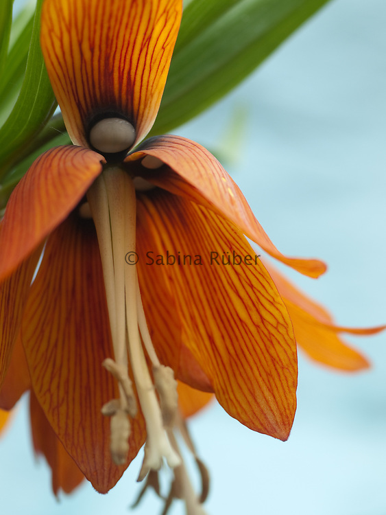 Fritillaria imperialis 'William Rex' - crown imperial