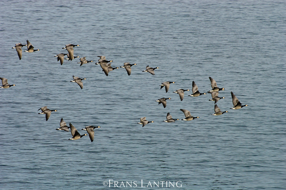 Barnacle geese migrating south, Branta leucopsis, East Greenland