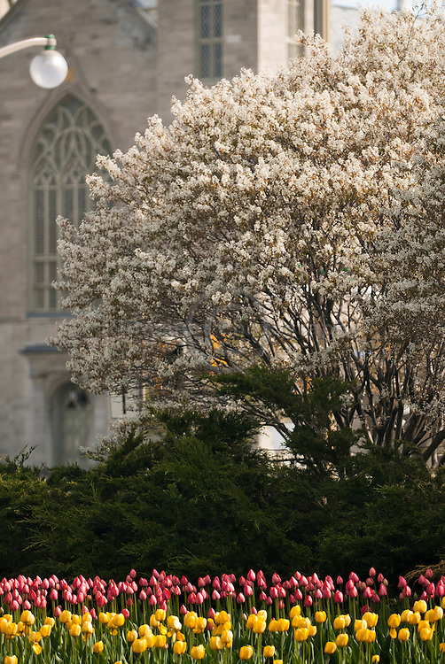 Signs of spring in Ottawa, Ontario; a lilac tree in full bloom and tulips in abundance set against the Notre-Dame Cathedral in the background.