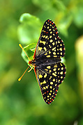 Top view of black winged butterfly resting on green leaf with .fuzzy green backround.