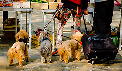 Three French Poodles at a Farmer's Market in ther Place Carnot, Carcassonne, France<br /> <br /> (c) Andrew Wilson   Edinburgh Elite media