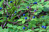 Wild Oval-leaved Blueberries (Vaccinium ovalifolium) along the Flower Lake Loop Trail in Mount Seymour Provincial Park, North Vancouver, British Columbia, Canada