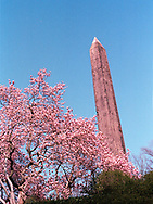 Cleopatra's Needle and Magnolia blossoms in Central Park, New York City