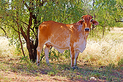 A Brahman cow finds a little bit of shade on Kimberley Downs Station, on the Gibb River Road.
