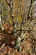 Field Maple - Acer campestre, on ancient woodland boundary, Stoke Wood, Oxfordshire.