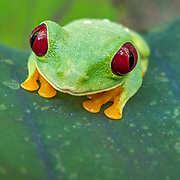 A red-eyed tree frog, Agalychnis callidryas, sits on a leaf.