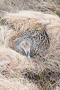 Common Eider, Somateria mollissima v-nigra, female on nest, Yukon Delta NWR, Alaska