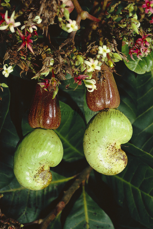 Cashew Nut Fruit<br />Anacardium occidentale<br />Amazon Rain Forest, PERU.  South America