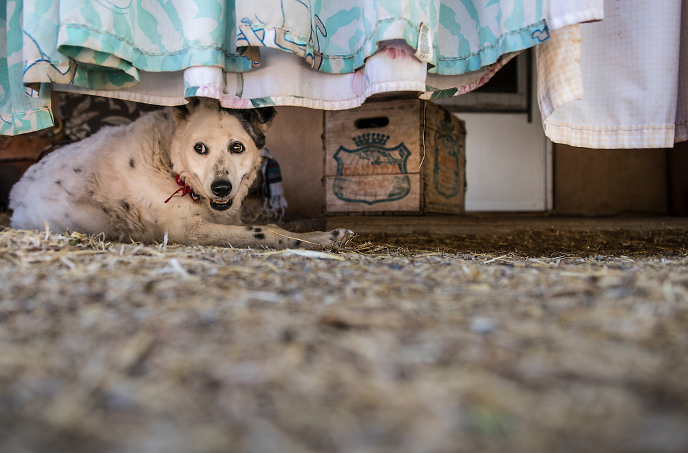 rer062917f/Fetch/June 29, 2017/Albuquerque Journal<br /> <br /> Kindred Spirits Animal Santuary in Cerillos New Mexico takes in older animals only, either for adoption or to live out their lives in peace.  Owner Ulla Pederson(Cq) has a very thorough regimen for restoring older animals to health.  Pictured is an elderly dog that lives in a specific area of the compound designed to make their everyday living as comfortable as possible. <br /> Santa Fe New Mexico Roberto E. Rosales/Albuquerque Journal