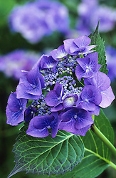 Hydrangea macrophylla 'Blaumeise' - also known as H.m. 'Blue Tit' / 'Blue Sky' or 'Teller Blue'