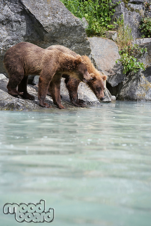 USA, Alaska, two Brown Bears drinking at river