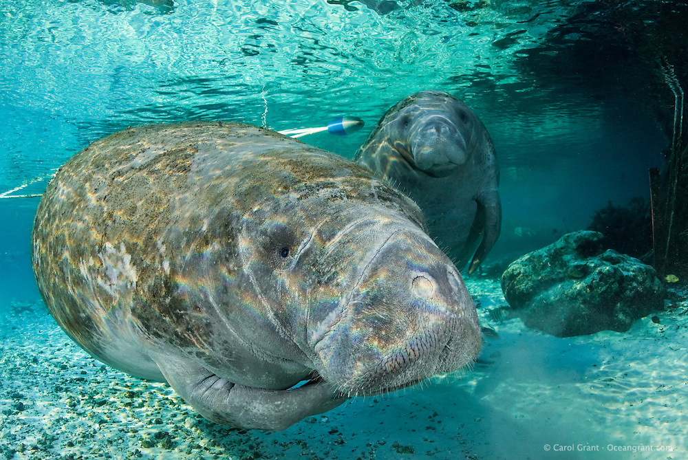 Florida manatee, Trichechus manatus latirostris, a subspecies of the West Indian manatee, endangered. An adult scratches itself with its flippers whileher curious calf is in the background. Fish, sheepshead, Archosargus probatocephalus, and a bream, Lepomis spp., are present. Horizontal orientation with rainbow sun rays and mixing blue and green water. In front of the manatee sanctuary. Three Sisters Springs, Crystal River National Wildlife Refuge, Kings Bay, Crystal River, Citrus County, Florida USA.