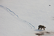 29/11/2010 - Exclusive set of Pictures <br /> <br /> Polar Bear Makes the Most of the Winter Weather by Sledging down Glacier<br />  Polar bears hate the heat and during mild weather will do anything to avoid or generate it. This may well include a belly glissade down a glacier rather than a energy sapping trek.<br /> ©Paul Goldstein/Exclusivepix