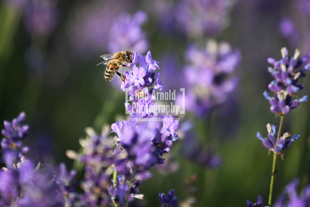 © Rob Arnold. Hampshire, UK. A bee on Lavender flowers in bloom on Summerdown farm estate near Malshanger in Hampshire. The lavender will be harvested and distilled into lavender oil that is a popular aromatherapy oil. The oil can be purchased from Summerdown Farms Ltd - www.summerdownmint.com Photo credit : Rob Arnold