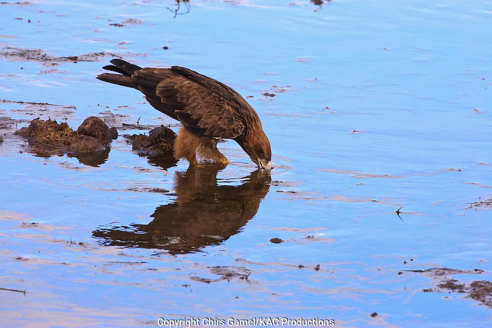 Tawny Eagle (Aquila rapax) standing in water drinking, Tarangire National Park, Tanzania, Africa; bird of prey; carnivore; foraging