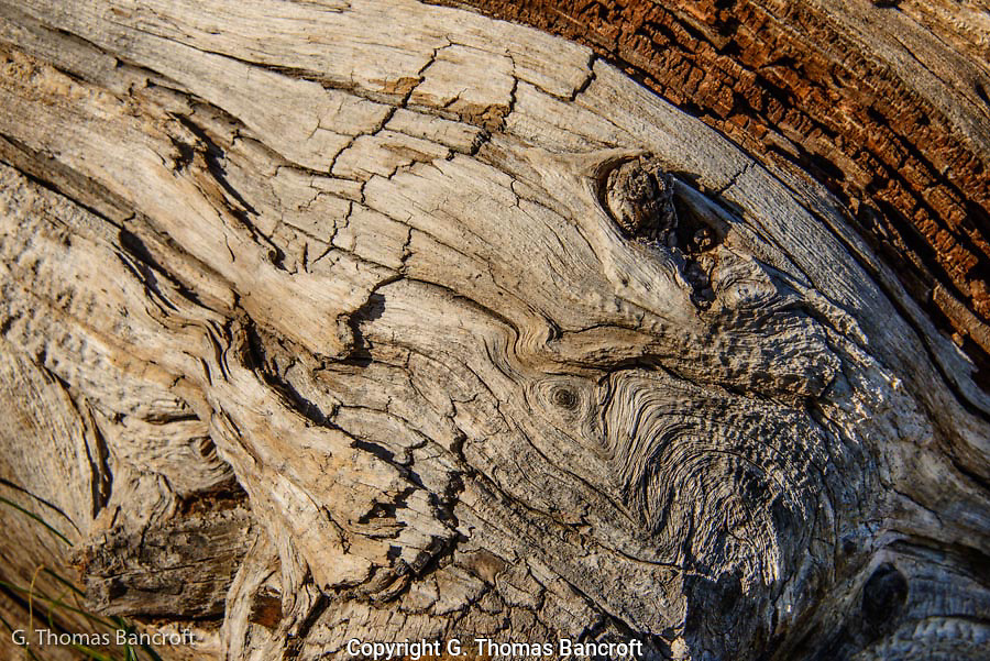 Probably a magnificient White-bark Pine that was killed in a fire long ago.  The pattern in the wood was intriquing.