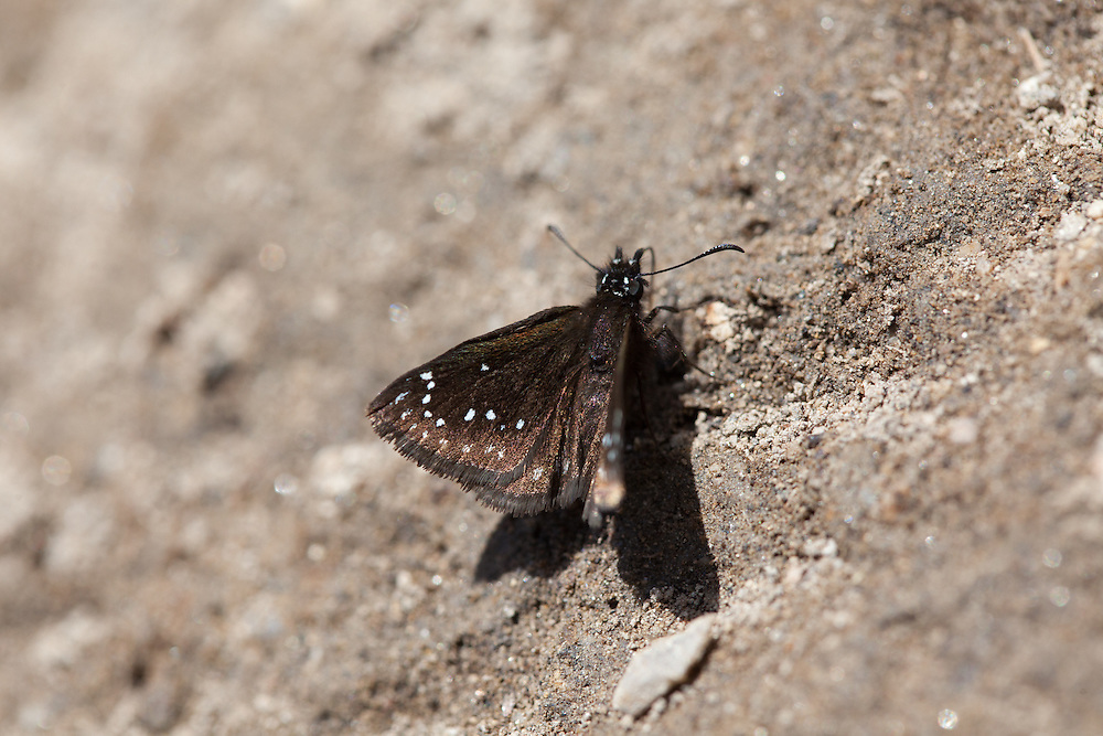 Pholisora catullus (Common Sootywing) at Sherman Pass, Tulare Co, CA, USA, on 05-May-16