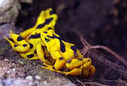 11 July 2010: Panamanian Golden Frog.  Miller Park Zoo, Bloomington Illinois (Photo by Alan Look)