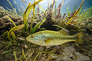 Largemouth Bass<br /> <br /> Isaac Szabo/Engbretson Underwater Photography