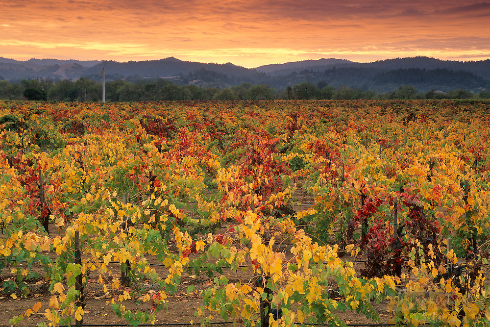 Sunset over grape vines in fall, Foppiano Vineyards, Russian River Valley, near Winsor, Sonoma County, California