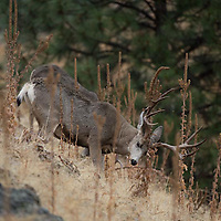 trophy mule deer buck rubbing antlers on grass and rock hillside