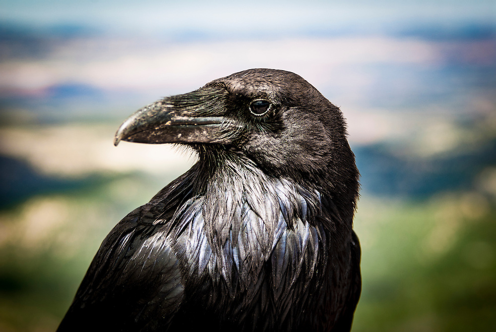 """A crow is a bird of the genus Corvus, or more broadly as a synonym for all of Corvus. The term """"crow"""" is used as part of the common name of many species. Species with the word """"crow"""" in their common name include:"""